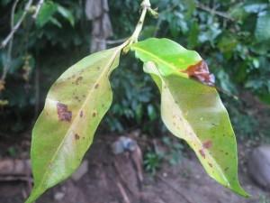 Coffee leaves showing Roya rust