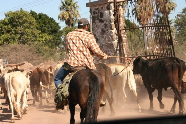 Cattle drive in Sonora, Mexico. Photo: Anna Vogt