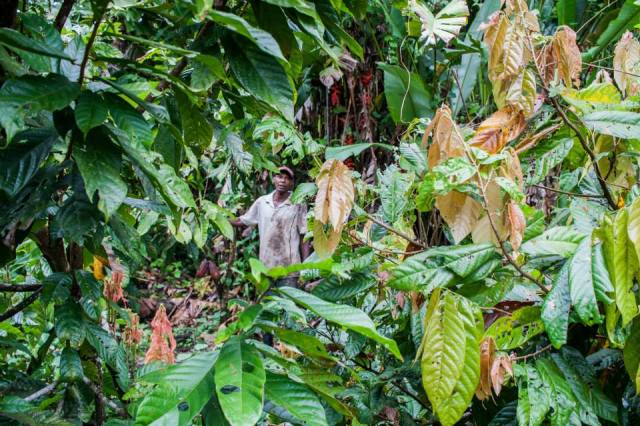 A farmer in Choco stands amidst his cacao plants. Photo: Anna Vogt